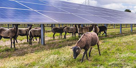 Schafe im Solarpark Dörverden